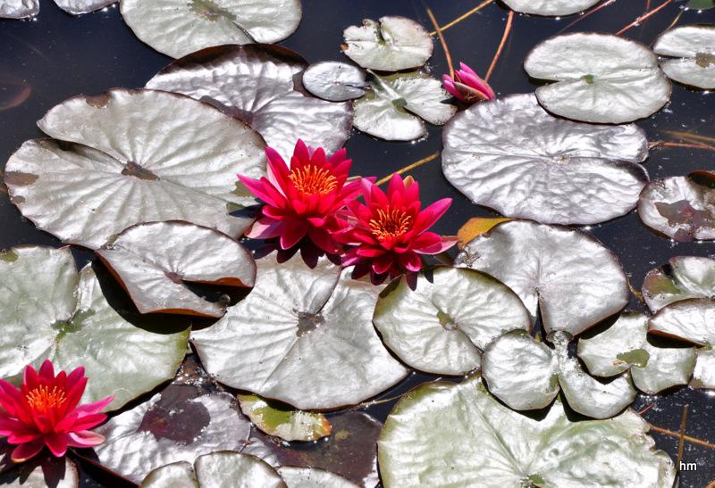 Rote Teichrosen auf dem See am Schloss Zeitz