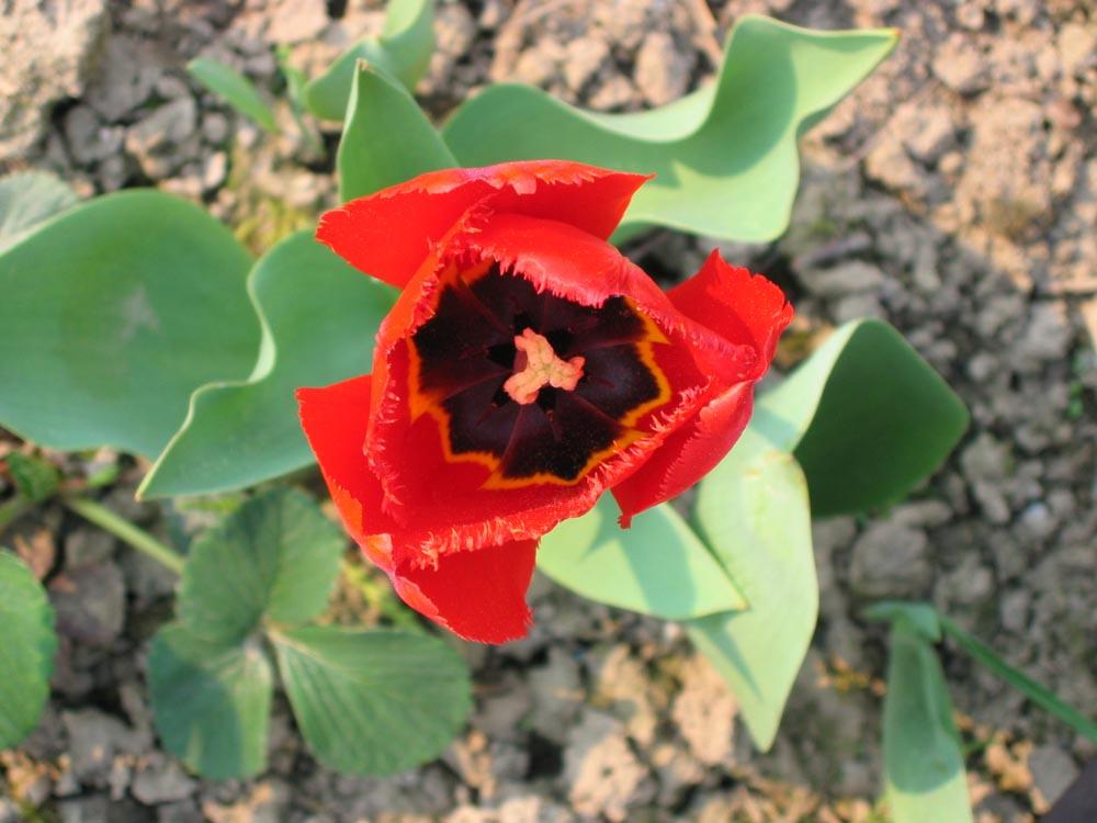 Rote Tulpe