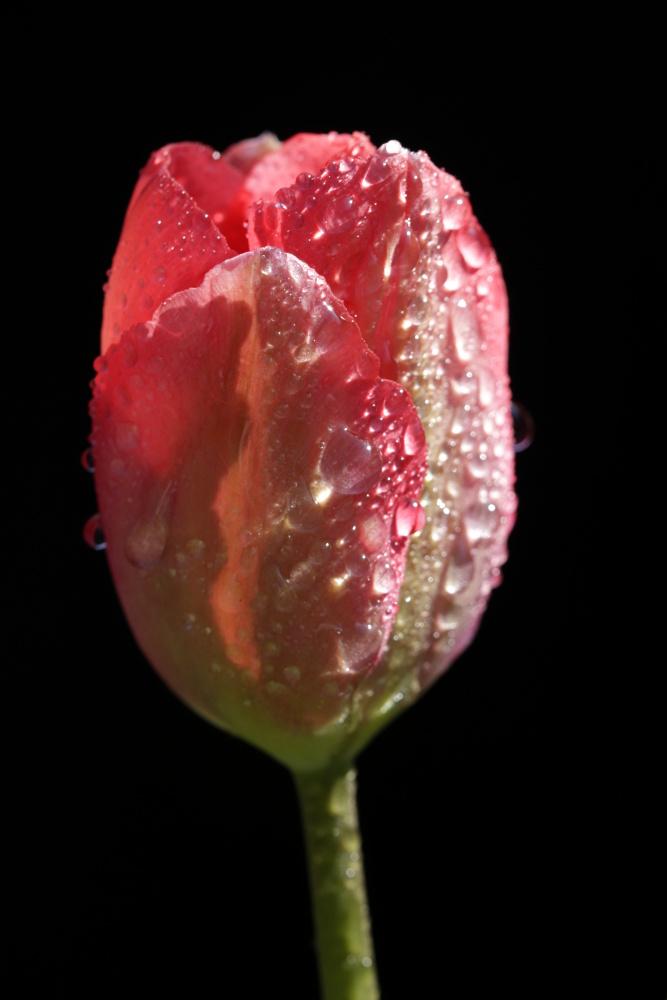 Rote Tulpe mit Wassertropfen