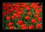 """Rote Tulpen"""