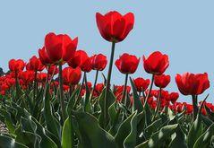rote Tulpen auf Texel
