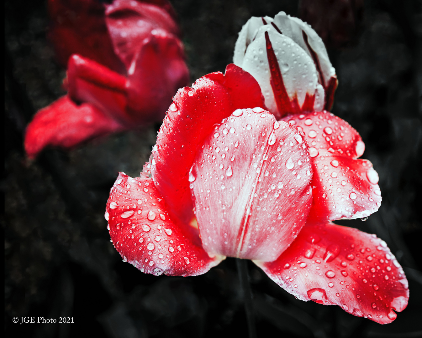 Rote Tulpen im Regen