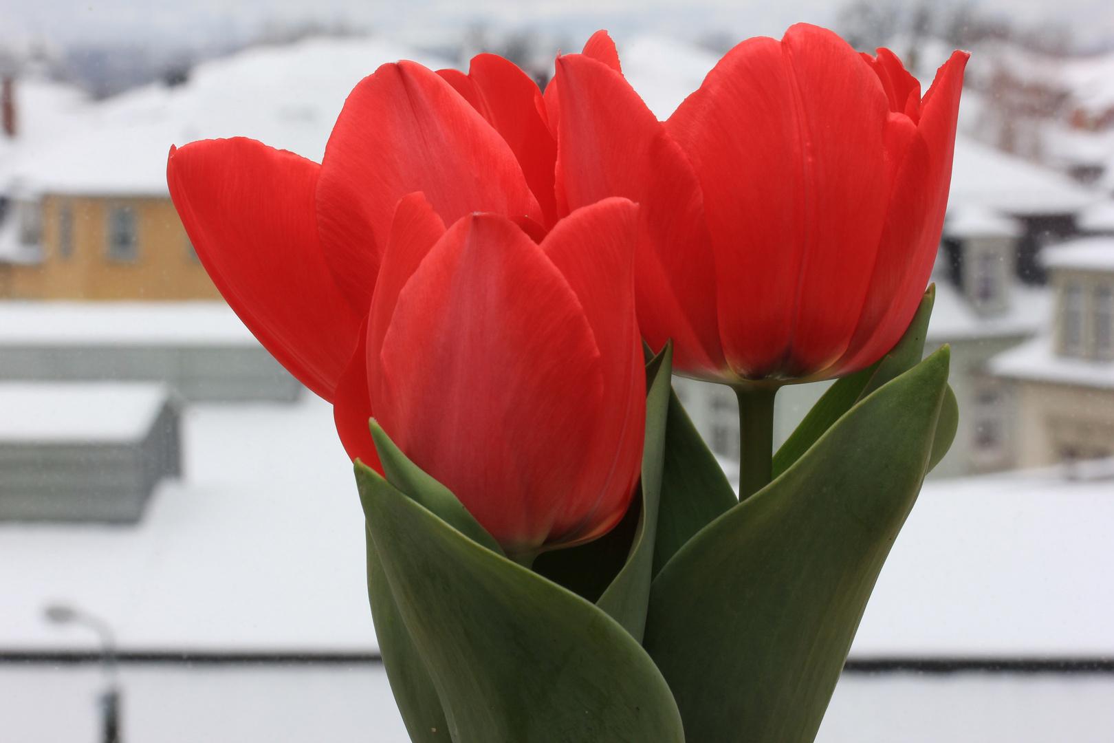 rote Tulpen vor weißer Winterlandschaft