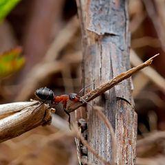 Rote Waldameise (Formica rufa): Schwerarbeiterin beim Ameisenhaufen!