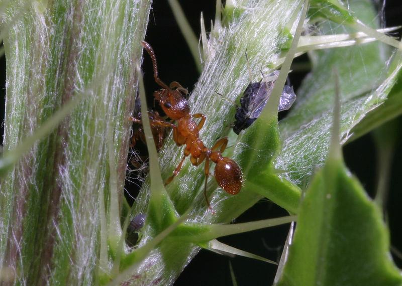 Rote Waldameise im Schutz der Distel