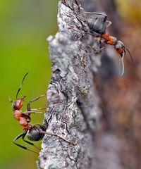 Rote Waldameisen (Formica rufa) - Fourmis rousses des bois.