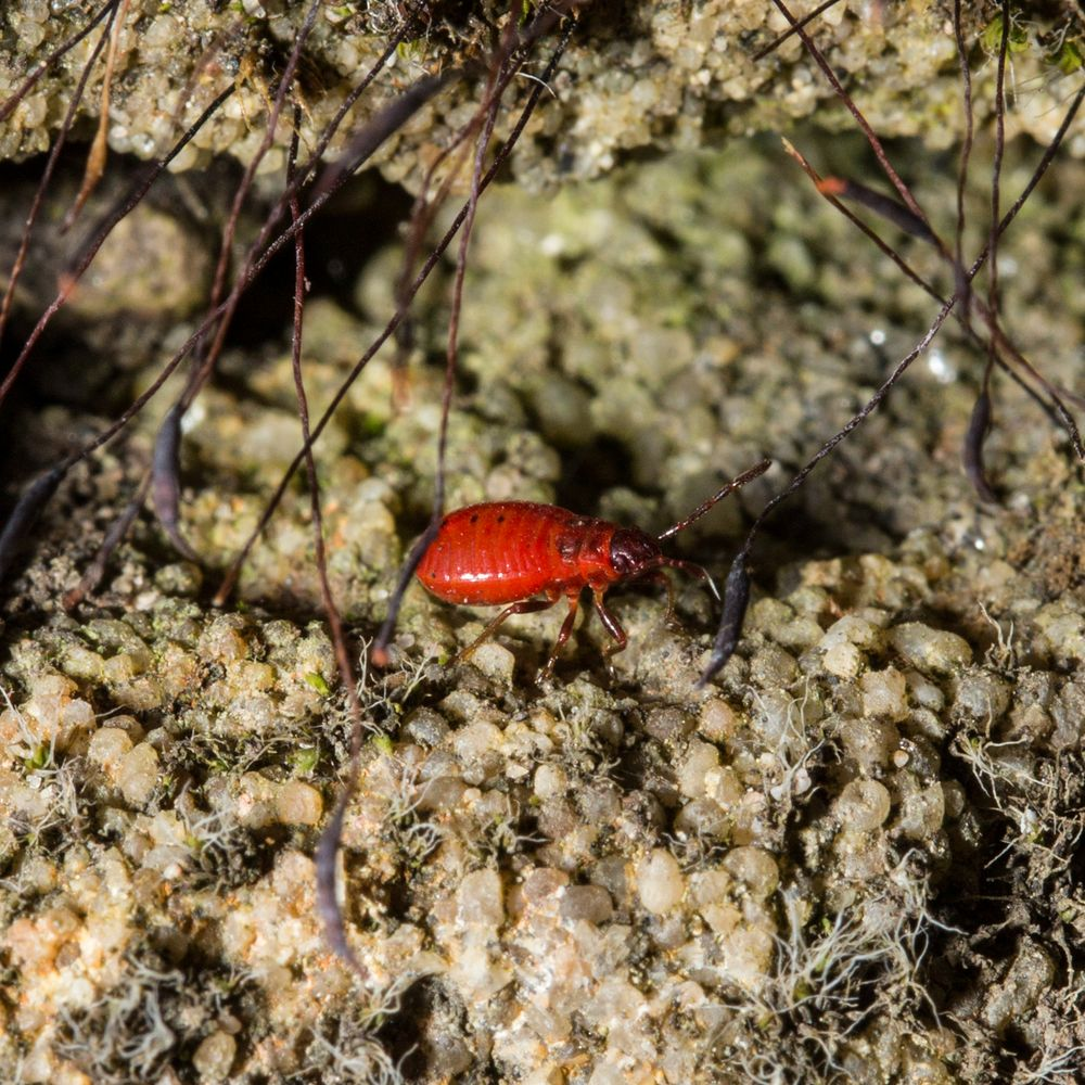 Rote Wanzenlarve im Moos