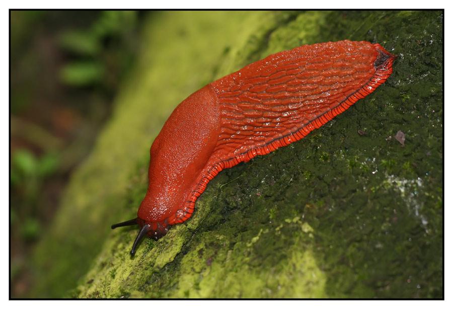 Rote Wegschnecke im Komplementärkontrast