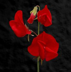 rote Wicke