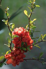 Rote Zierquitttenblüte  ( Chaenomeles )