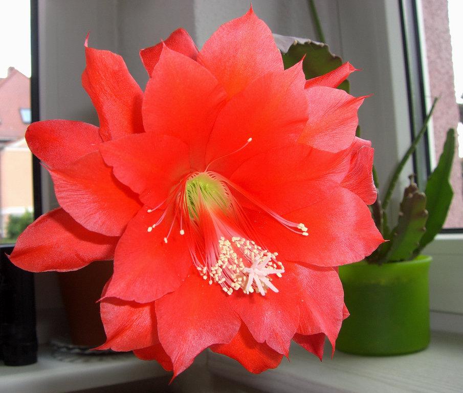 Roteblüte