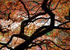 Roter Ahorn von innen nach außen :-) - Frankfurt - Bethmannpark