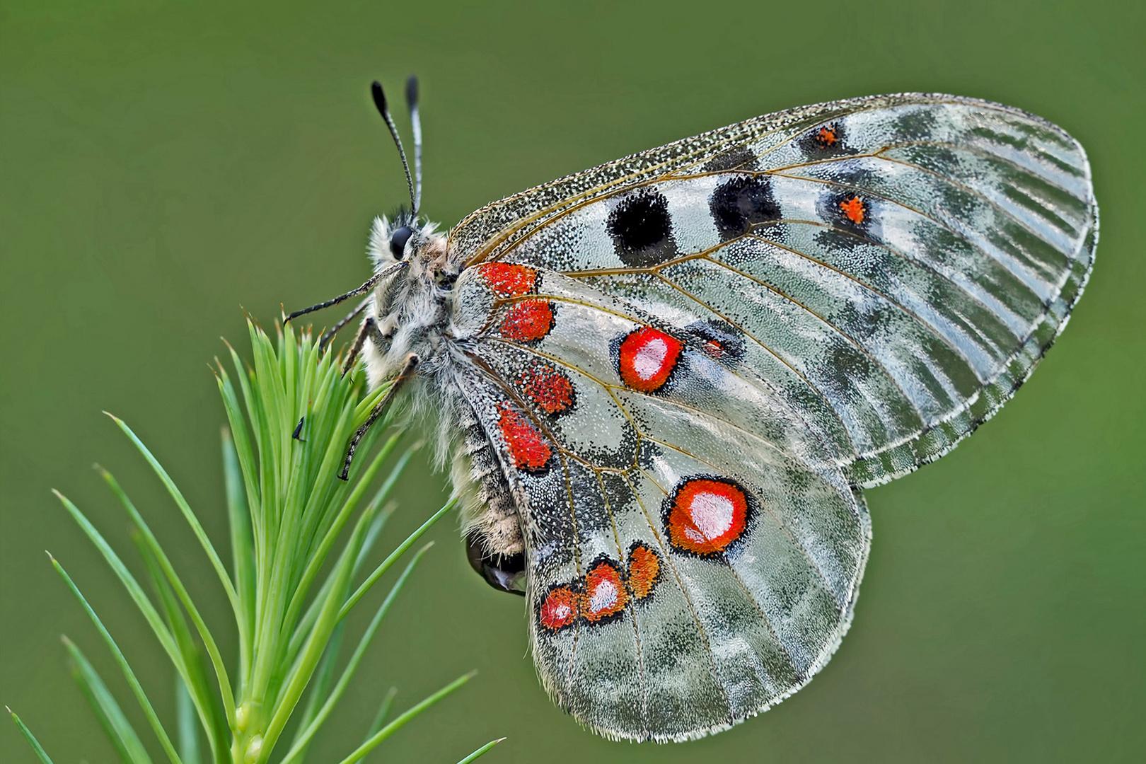 Roter Apollo (Parnassius apollo): Vorfreude auf wärmere Zeiten! - L'Apollon rouge!