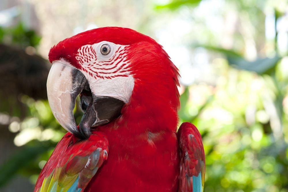 Roter Ara macht sich hübsch.