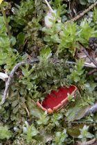 roter bodenpilz im frühling eingekuschelt in moos