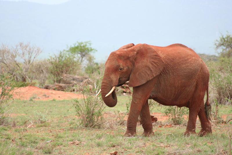 Roter Elefant..