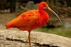 Roter Ibis (Scharlachsichler)