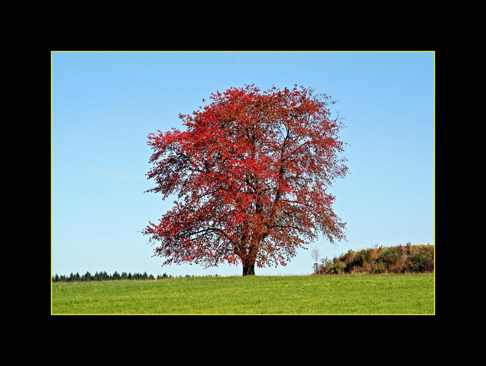 Roter Laubbaum im Herbst