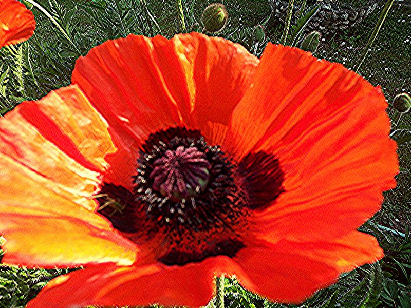 Roter Mohn 2