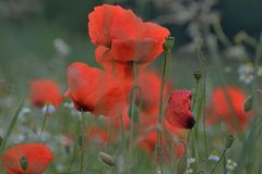 *** roter mohn ***
