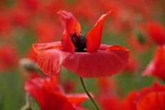 Roter Mohn...