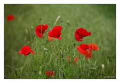 Roter Mohn