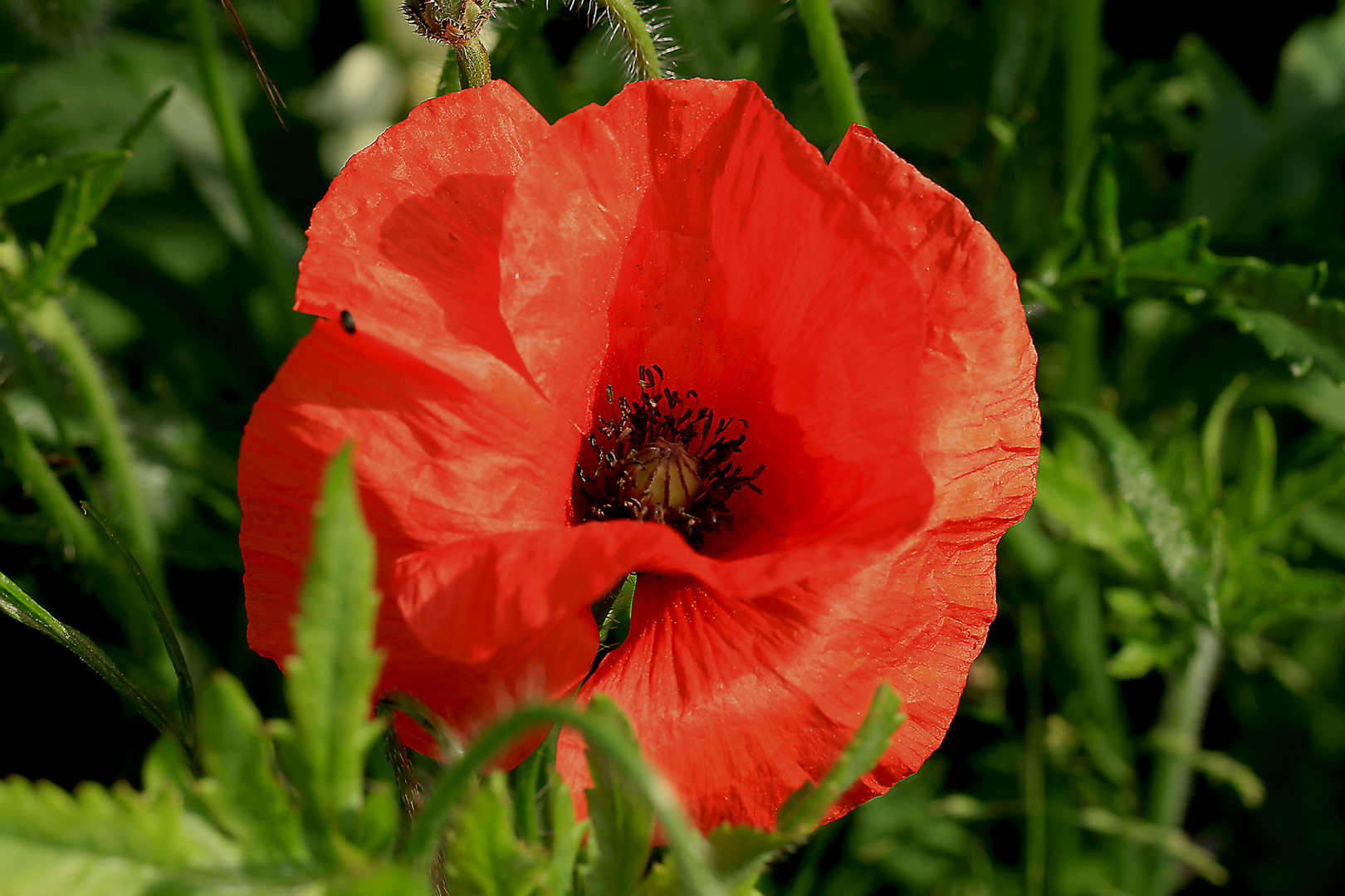 Roter Mohn ........