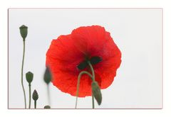 Roter Mohn....