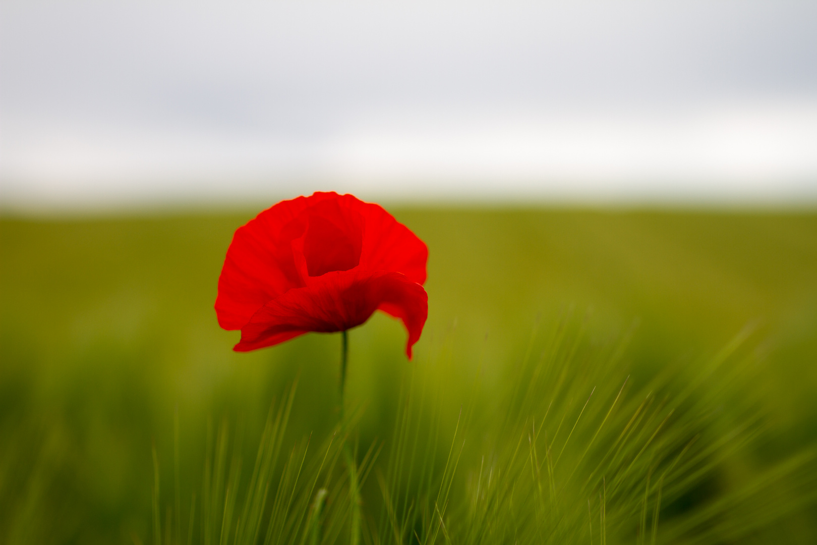 Roter Mohn im Gerstenfeld -- Poppy within barley field