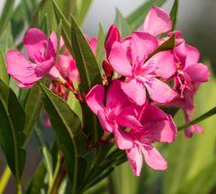 roter Oleander