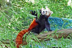 roter-Panda auf Entdeckungstour