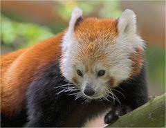 Roter Panda aus Nürnberg