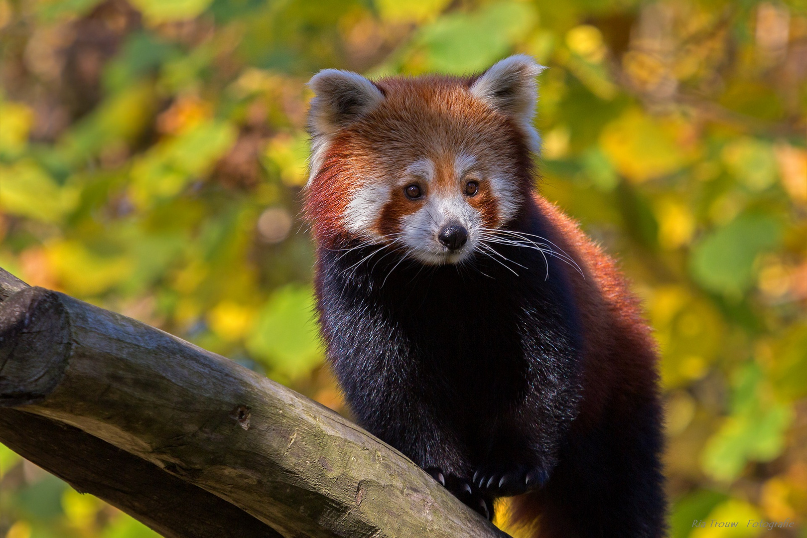 roter panda foto bild natur zoo tiere bilder auf fotocommunity. Black Bedroom Furniture Sets. Home Design Ideas