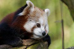 Roter Panda geniesst ersten Sonnenstrahlen