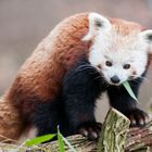 Roter Panda im Schweriner Zoo