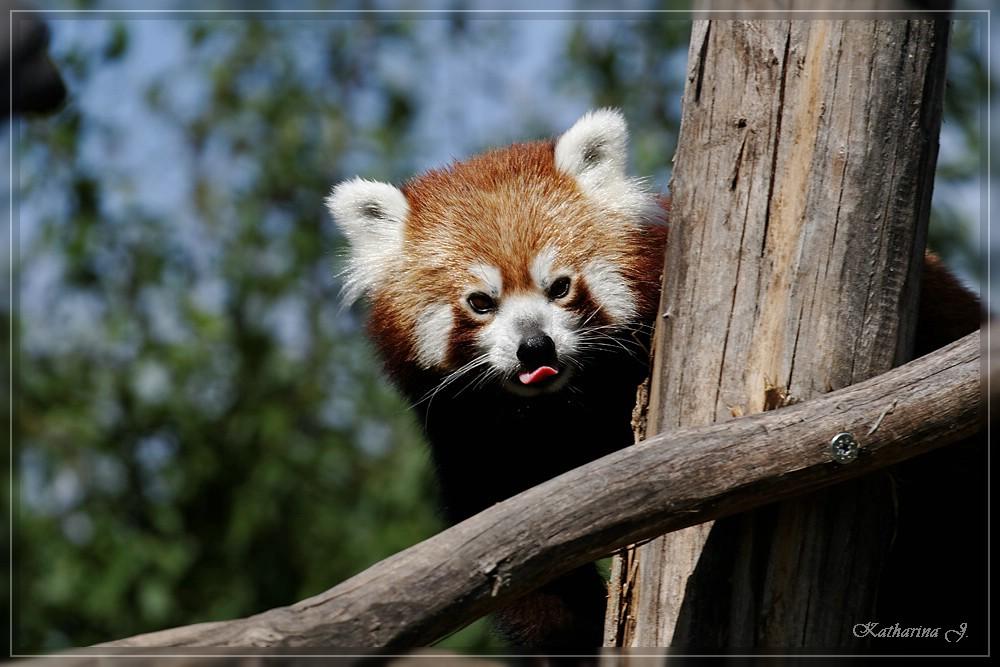 Roter Panda in Schönbrunn