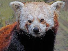 "Roter Panda (Katzenbär) -2- ""Neuwieder Zoo"""