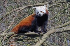 Roter Panda (Katzenbär) -Neuwieder Zoo-