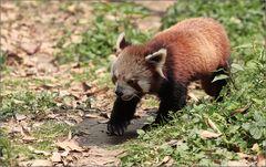 roter panda - red panda - ailurus fulgens