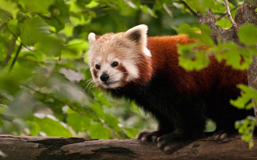 roter panda reload foto bild tiere zoo wildpark falknerei s ugetiere bilder auf. Black Bedroom Furniture Sets. Home Design Ideas