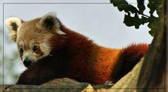 """Roter Panda - wo sind deine"""" Gedanken""""?"""
