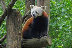 Roter Panda (Zoo Neuwied)