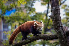 Roter Pandabär auf Erkundung