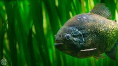 Roter Piranha (Serrasalmus nattereri)