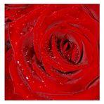 Roter Rosen