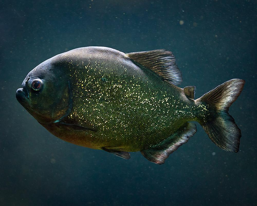 Roter (Rotbäuchiger) Piranha