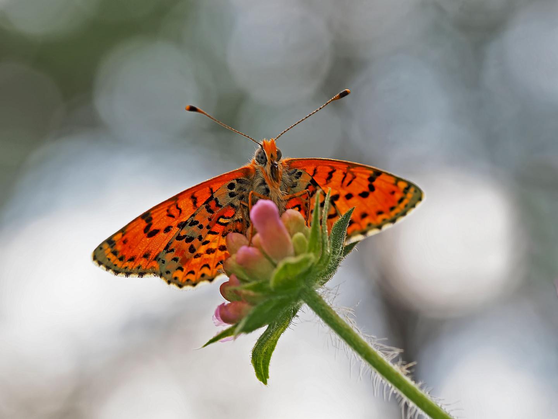 Roter Scheckenfalter (Melitaea didyma) - La Mélitée orangée.