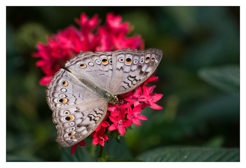 Roter Teppich für einen Schmetterling
