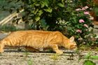 Roter Tiger auf Entdeckungstour