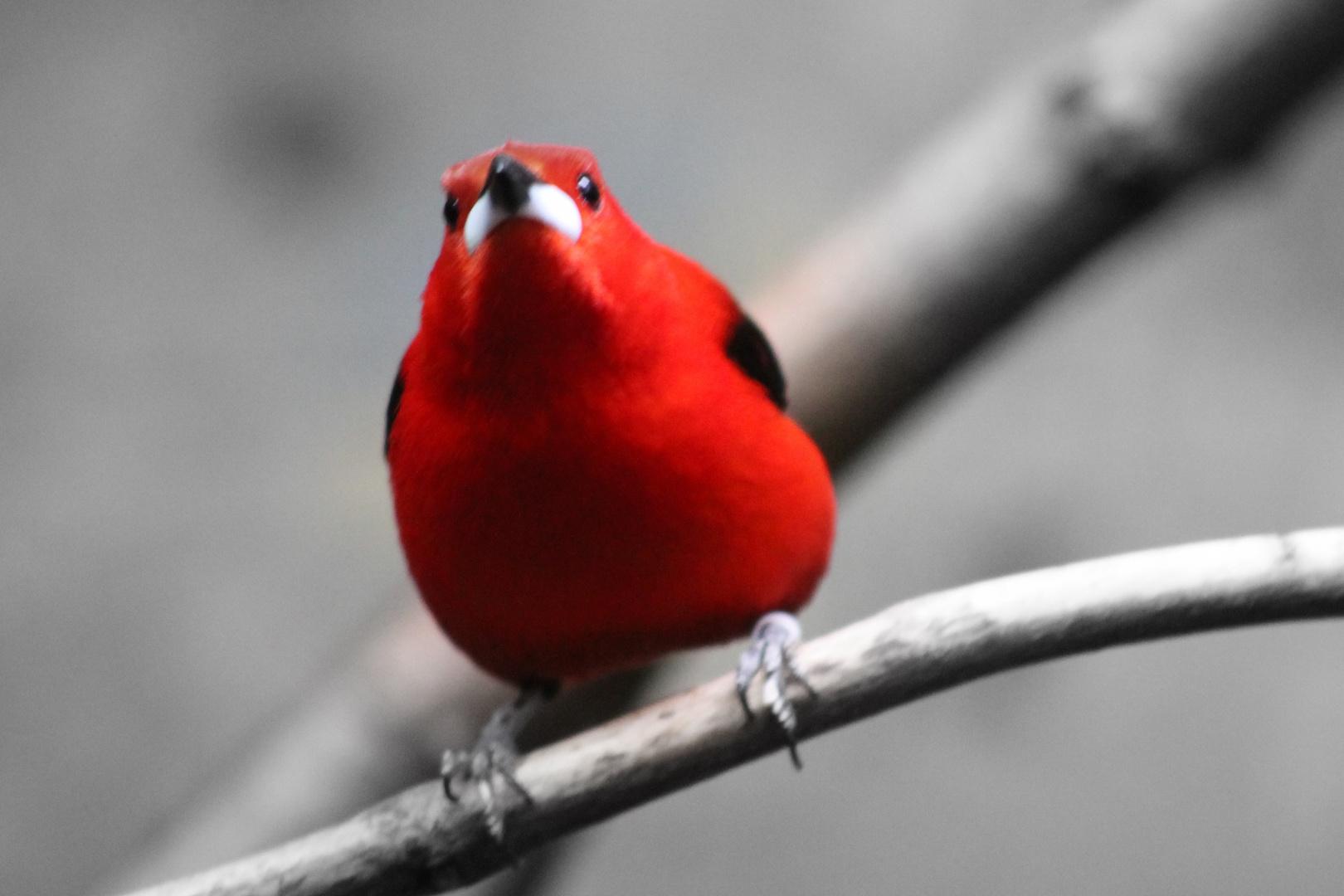 roter vogel foto bild tiere zoo wildpark falknerei v gel bilder auf fotocommunity. Black Bedroom Furniture Sets. Home Design Ideas